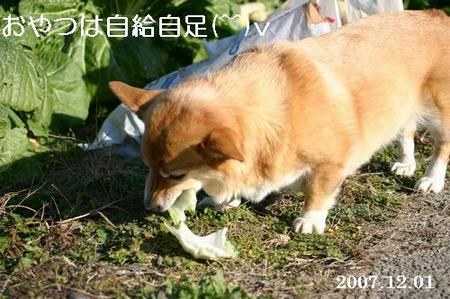 畑から白菜拾って食べてます(笑)