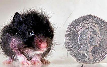 2.5cm_hamster.jpg