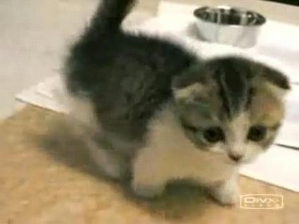 Munchkin_Cat.JPG