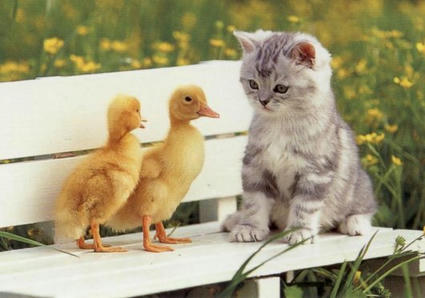Kitten-Ducks.jpg