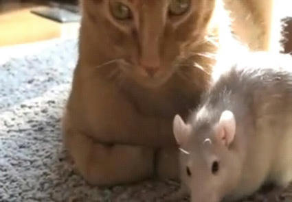 Rat_loves_cat.JPG