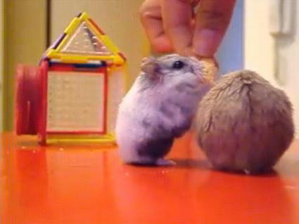 Hamsters_Fighting_Over_Crackers.JPG