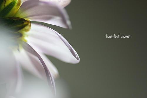 スプレー菊(1)