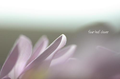 スプレー菊(2)