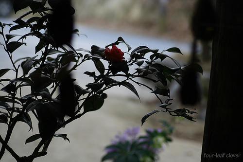 モノクロっぽい椿写真