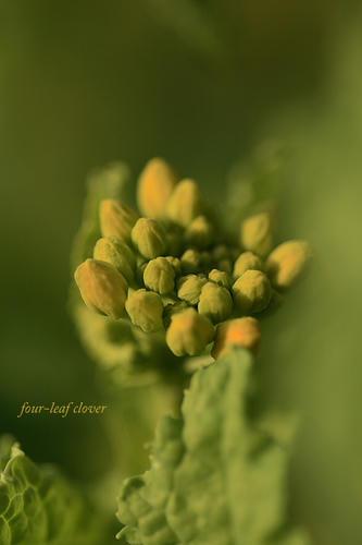 菜の花の蕾