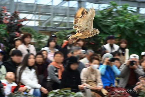 梟の飛行シーン④