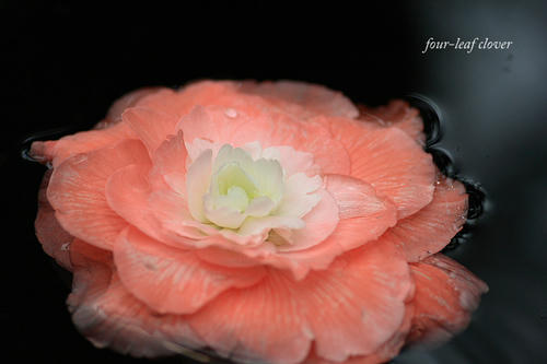 水に浮かぶベゴニアの花