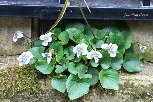 今年初の菫の花