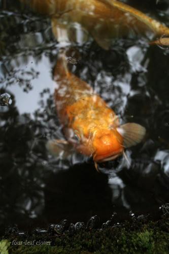 黄金色に輝く錦鯉