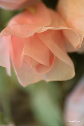 やさしいバラの花