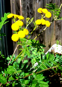 タンジーの花