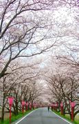 久世天領桜まつり