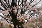 tennnouzakura3.jpg