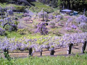 藤の花2010.04.29