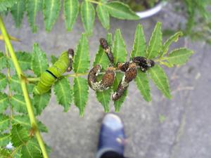 アゲハの幼虫2010.05.30