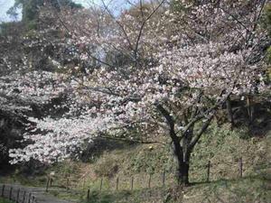 5分咲きのソメイヨシノ