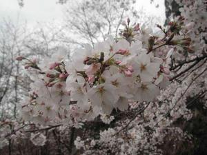 2011/04/03蓮花寺池公園の桜