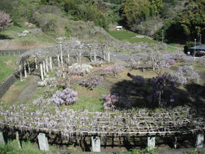 蓮花寺池公園の藤2011/04/24