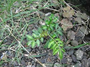 雑草に混ざって発芽したサンショウ