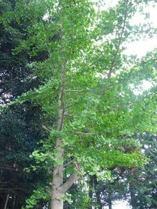社の銀杏の樹