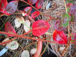 ブルーベリーの紅葉(オニール)