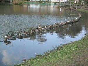 蓮花寺池公園の水鳥