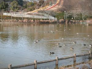 蓮華寺池の野鳥2012/01/29