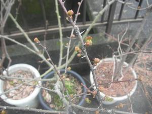 サンショウの木2012/03/18
