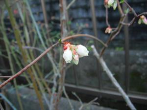 オニールの開花2012/03/19
