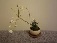20080310-桜盆栽