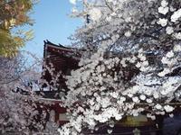 20080329-桜