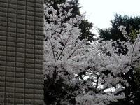 20100403-桜-ベランダ