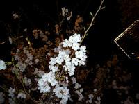 20100403-桜-目黒川