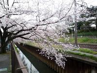 20100404-桜