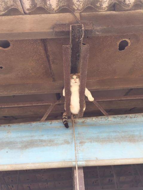 呼んだ? 猫 天井裏に 現る