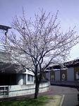 桜さく2010/0404/1300