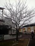 店の近所の桜(雪景色)2011.02.11(金)