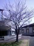 桜2011.04.06(水)11:15
