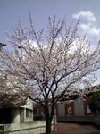 桜2011/4/09(土)13:10