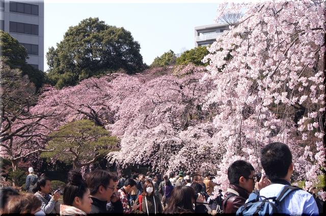 続く桜並木