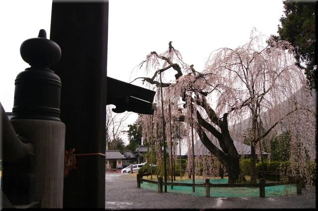 もう1本の枝垂桜