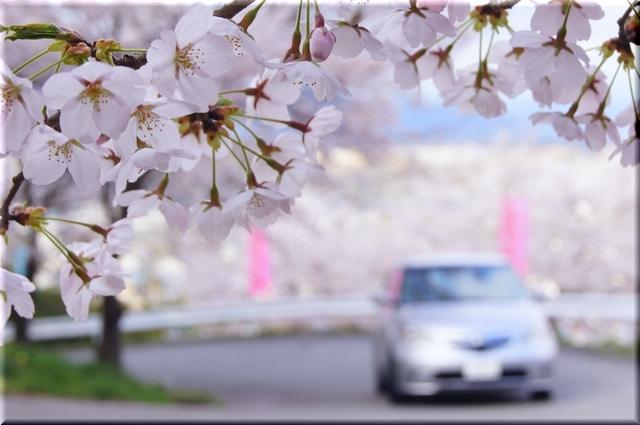 桜鑑賞ドライブ
