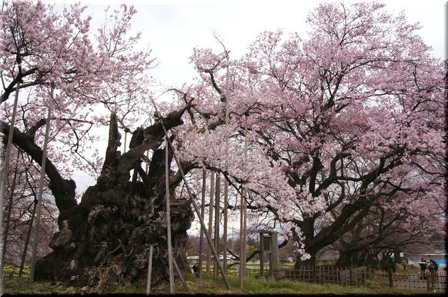 若木を従える神大桜