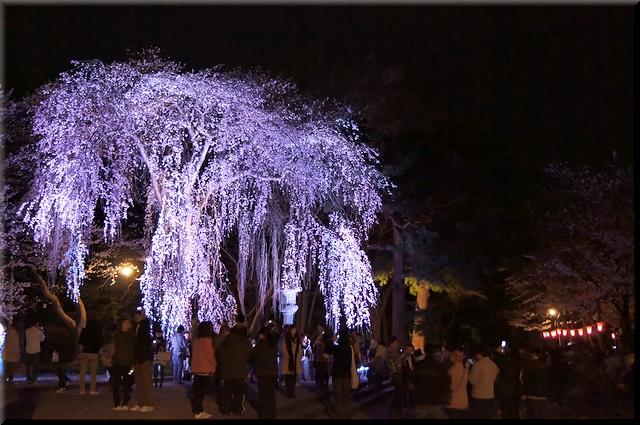 妖艶な枝垂桜