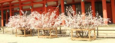 桜おみくじ2