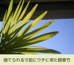01/27観音竹