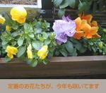 03/03ビオラたち