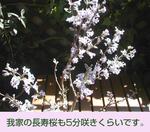 03/30長寿桜