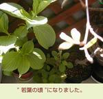 04/28若葉
